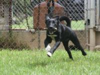 Labrador Retriever - Charlie - Large - Baby - Male -