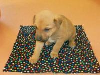 Labrador Retriever - Charlie (puppy One) - Medium -