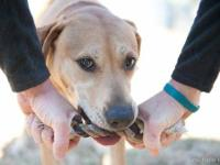 Labrador Retriever - Chloe - Large - Adult - Female -