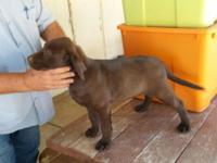 I have one male chocolate lab puppy that is ready to go