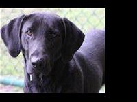 Labrador Retriever - Clancy - Medium - Adult - Male -