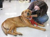 Labrador Retriever - Clyde - Medium - Adult - Male -