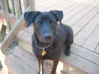 Labrador Retriever - Clyde - Medium - Young - Male -