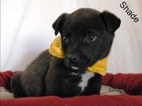 Labrador Retriever - Coal - Small - Baby - Male - Dog