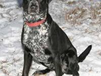 Labrador Retriever - Cochise - Large - Young - Male -