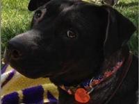 Labrador Retriever - Coco - Medium - Young - Female -