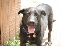 Labrador Retriever - Cocoa - Large - Adult - Male -