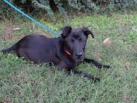 Labrador Retriever - Cody - Large - Baby - Male - Dog
