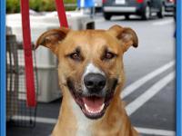 Labrador Retriever - Cody - Medium - Adult - Male -