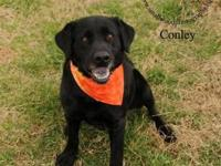 Labrador Retriever - Conley #6893 - Large - Adult -