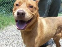 Labrador Retriever - Conner - Large - Adult - Male -
