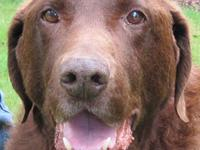 Labrador Retriever - Cooper - Large - Young - Male -