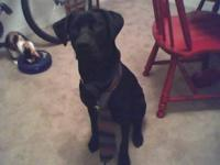 Labrador Retriever - Cooper - Medium - Adult - Male -