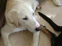 Labrador Retriever - Cooper - Medium - Young - Male -