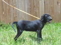 Labrador Retriever - Cowboy - Large - Young - Male -