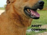 Labrador Retriever - Cowboy - Medium - Adult - Male -