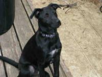 Labrador Retriever - Dagny - Medium - Young - Female -