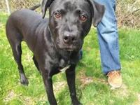 Labrador Retriever - Dagwood - Medium - Young - Male -