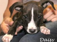 Labrador Retriever - Daisy Duke - Medium - Baby -