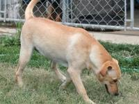 Labrador Retriever - Daisy - Large - Young - Female -