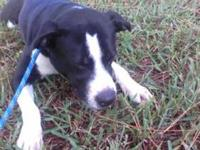 Labrador Retriever - Daisy - Medium - Adult - Female -