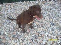 Labrador Retriever - Dakota - Medium - Young - Female -