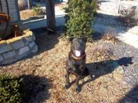 Labrador Retriever - Dallas - Large - Adult - Male -