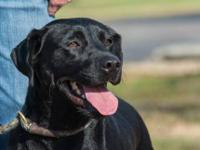 Labrador Retriever - Damon - Large - Adult - Male -