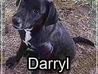 Labrador Retriever - Darryl - Medium - Baby - Male -