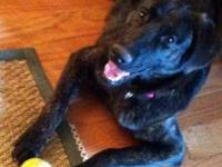 Labrador Retriever - Debbie/foster - Medium - Young -