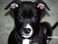 Labrador Retriever - Delilah - Large - Baby - Female -