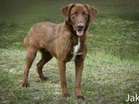 Labrador Retriever - Dewey - Large - Young - Male -