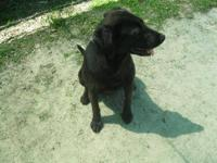 Labrador Retriever - Diamond - Medium - Young - Female