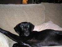 Labrador Retriever - Diesel - Large - Young - Male -