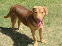 Labrador Retriever - Dillion - Medium - Young - Male -