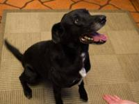 Labrador Retriever - Dimitri - Medium - Adult - Male -
