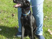 Labrador Retriever - Dodger - Medium - Young - Male -