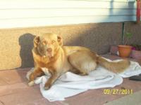 Labrador Retriever - Dog, Courtesy Listing - Large -