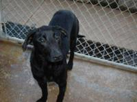 Labrador Retriever - Domino New Picture & Video -