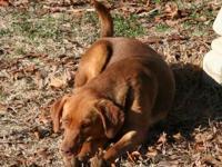 Labrador Retriever - Donna - Large - Young - Female -