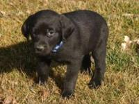 Labrador Retriever - Donner (puppy) - Large - Baby -