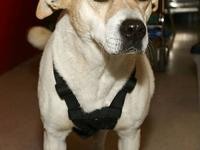 Labrador Retriever - Dottie - Medium - Adult - Female -