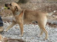 Labrador Retriever - Doug - Medium - Young - Male -