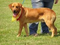 Labrador Retriever - Duke - $35 - Large - Adult - Male