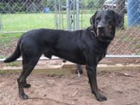 Labrador Retriever - Duke - Large - Adult - Male - Dog