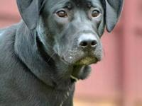 Labrador Retriever - Dustin - Large - Young - Male -