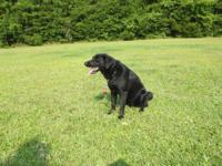 Labrador Retriever - Ebon - Large - Young - Male - Dog