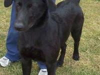Labrador Retriever - Ebony - Large - Young - Female -