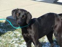 Labrador Retriever - Ebony - Large - Young - Female -