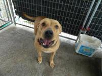 Labrador Retriever - Elsie - Large - Young - Female -